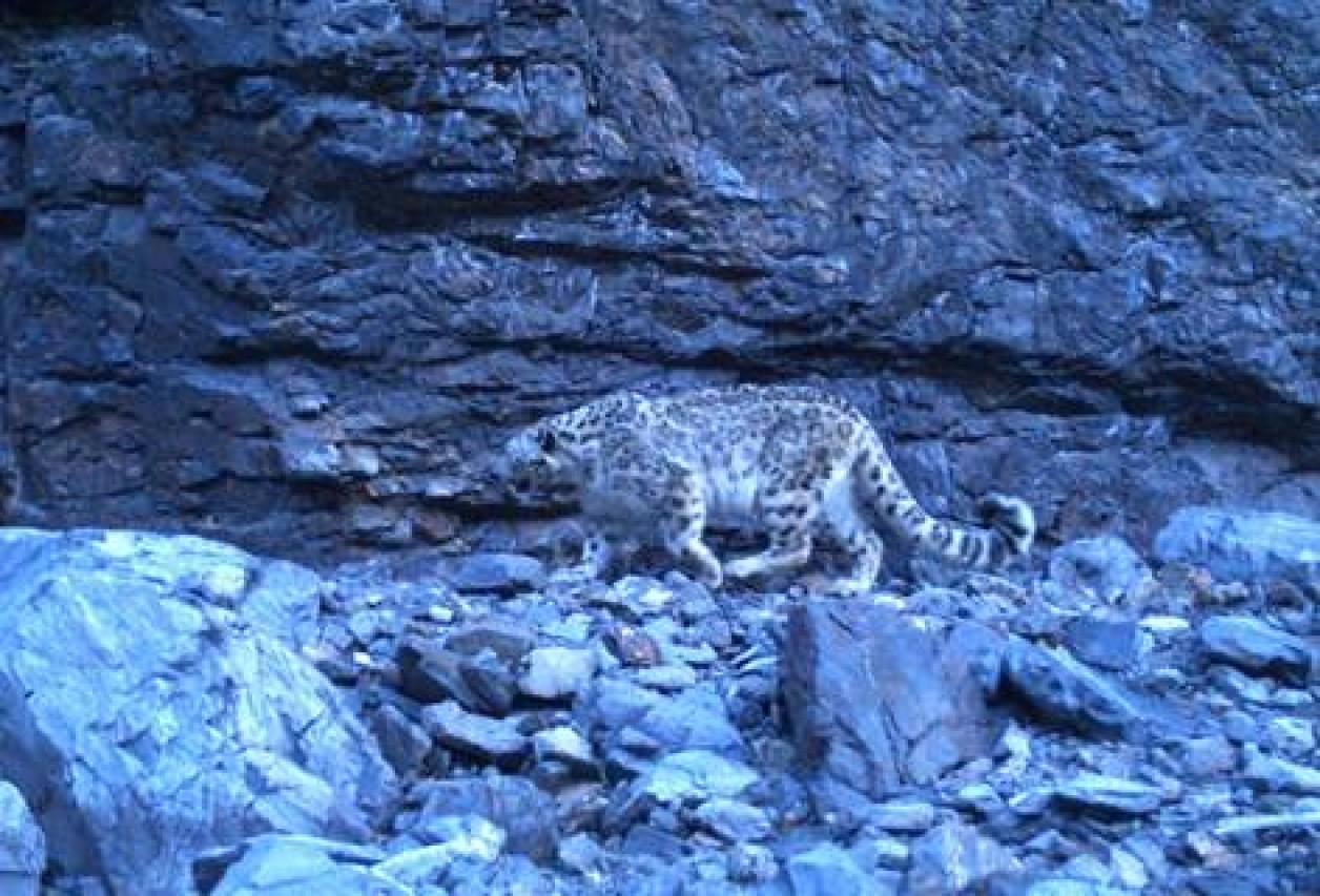 NUOVA RICERCA SUL LEOPARDO DELLE NEVI. Pubblicati i risultati della prima spedizione del MUSE nei Monti Altai