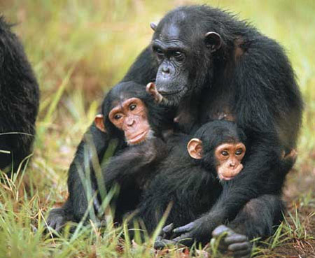 Biodiversità ed ecologia delle grandi scimmie: il Museo in un progetto internazionale