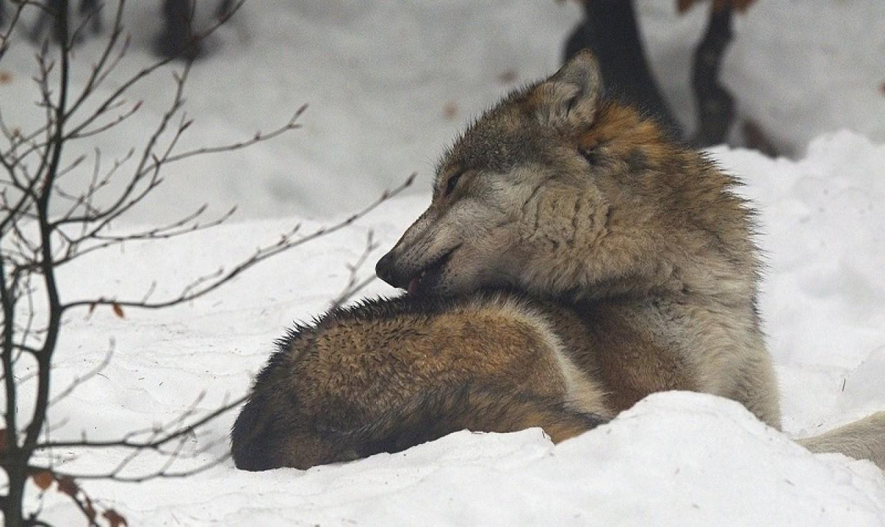Incontri al museo per parlare di fauna - La gestione del lupo in Francia
