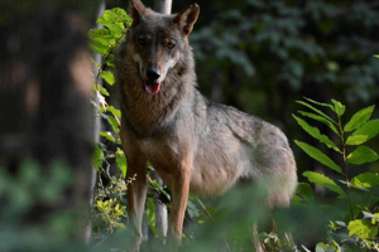 La popolazione di lupo sulle Alpi