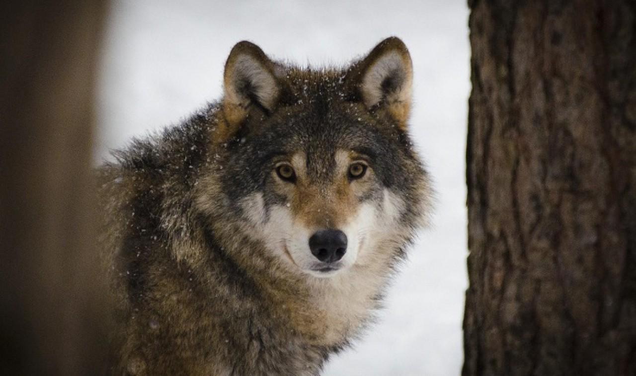 La situazione nel lupo nelle Alpi