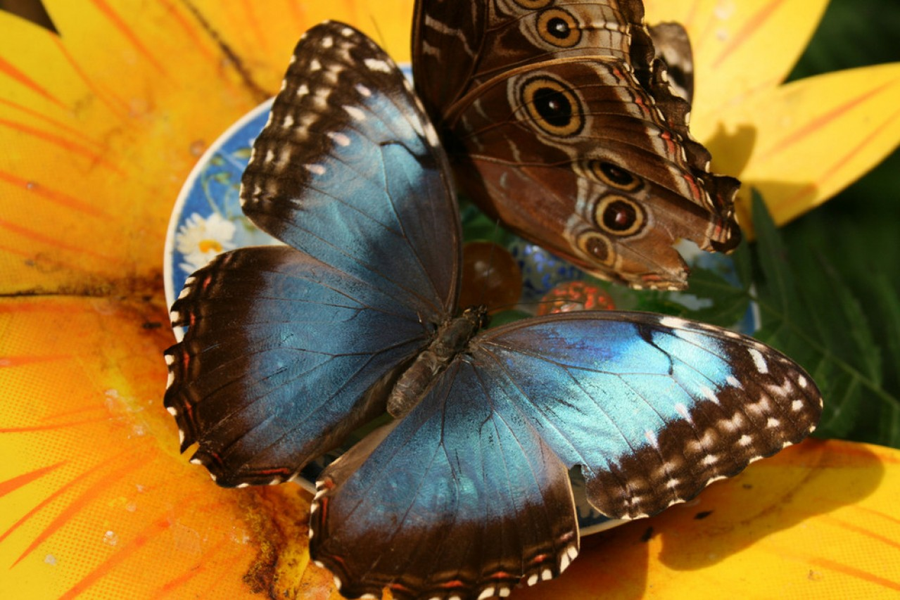 Delle Farfalle di Bordano