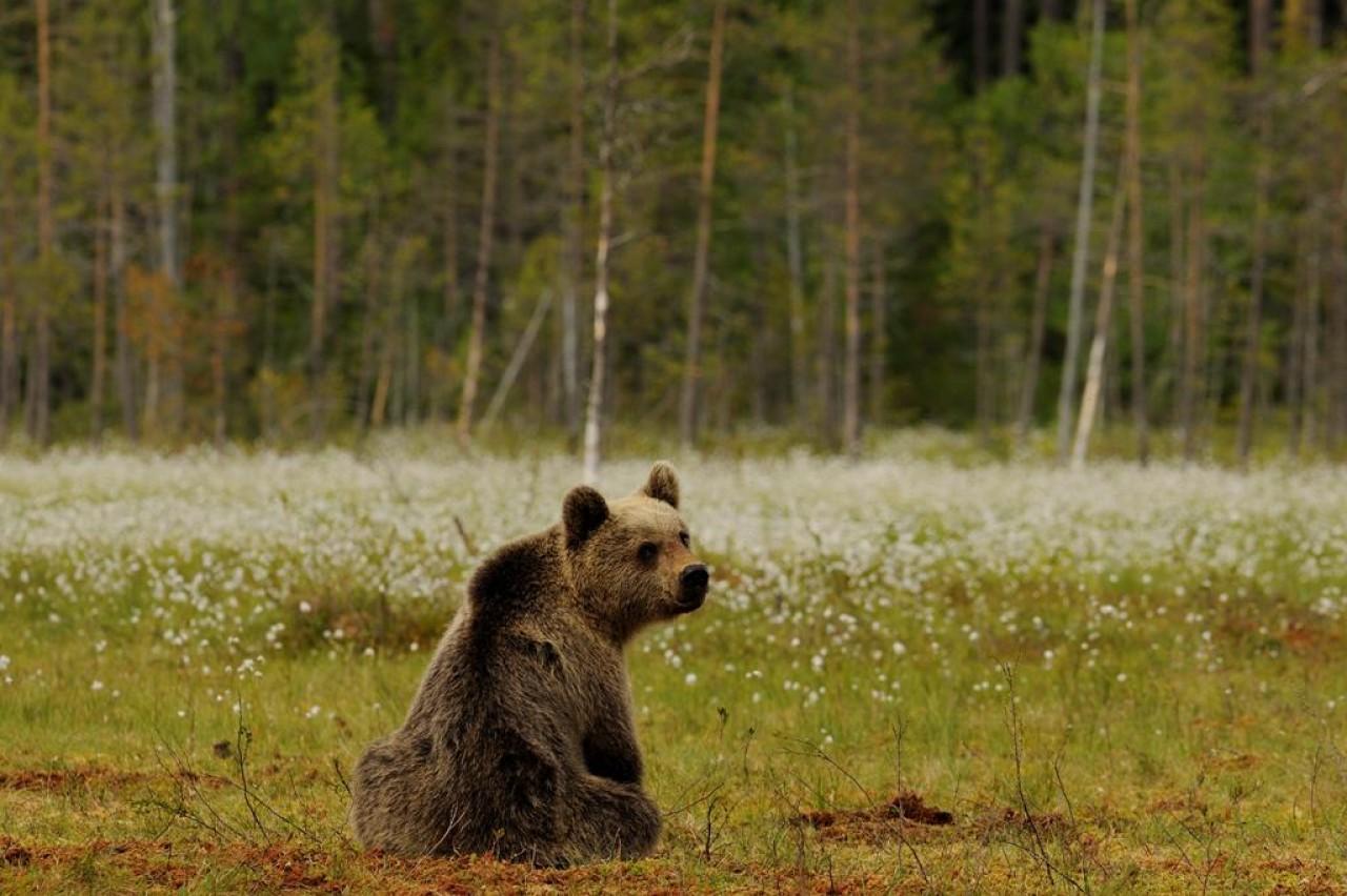 Incontri al museo per parlare di fauna - Orso in Trentino